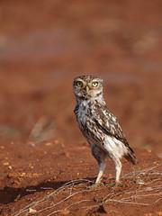 little Owl ( Athene noctua ) (diegocon1964) Tags: españa sevilla littleowl athenenoctua mochuelo lospalaciosyvillafranca avianexcellence