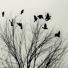 aloft in winter 2 (Will Montague) Tags: winter black tree monochrome grey fly nikon kentucky gray flight row blackbird montague aloft corvus takeflight d80 willmontague