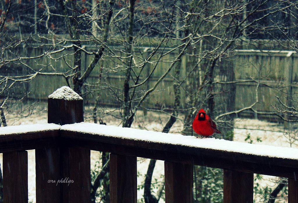 Mr. Red Bird