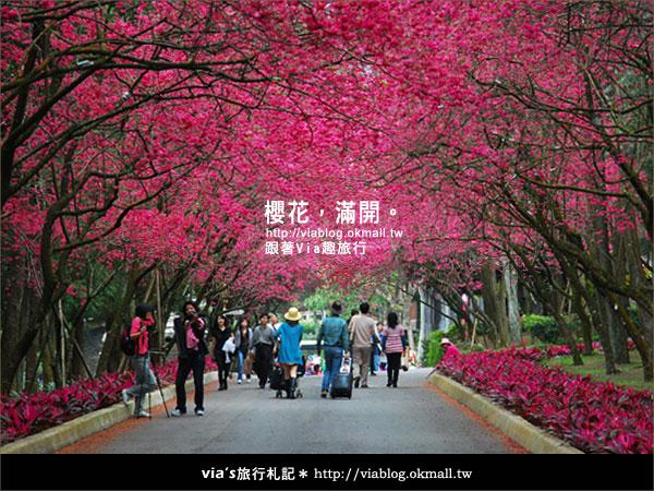 【九族櫻花季】櫻花滿開!最浪漫的九族文化村櫻花季33