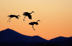 Air Brakes (Fort Photo) Tags: newmexico bird nature animal silhouette nikon bravo searchthebest crane wildlife birding flight silhouettes grace cranes bosque ave elegant nm simple graceful ornithology sandhill bosquedelapache avian 2010 sandhillcrane bif nwr d300 braking gruscanadensis gruiformes gruidae bosquedelapachenationalwildliferefuge