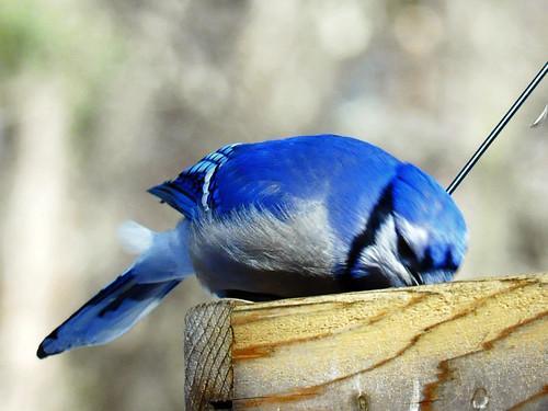 Blue Jay IV Feb 12