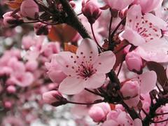 Blutkirsche (Prunus cerasifa 'Nigra') (blumenbiene) Tags: flowers tree cherry spring frühling prunus blüten kirsche kirschbaum blutkirsche cerasifa