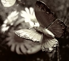 Picnik Butterfly