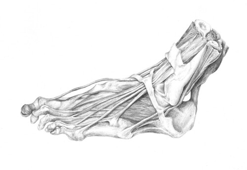 tendons of foot. Tendons of a Foot. graphite