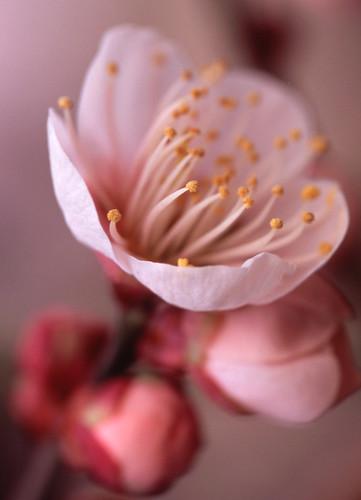 西九条公園 Ume flowers
