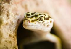 Enough is Enough (Thomas Hawk) Tags: california usa america berkeley unitedstates 10 reptile unitedstatesofamerica lizard eastbay vivarium fav10 eastbayvivarium