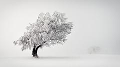 Enduring (andywon) Tags: winter white snow cold tree nature germany landscape deutschland freiburg endurance schwarzwald blackforest schauinsland badenwrttemberg explored stohren wetterbuchen windbuchen weatherbeeches windbeeches