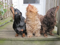 What Are Those? (Tobyotter) Tags: dog chien frank hound canine dachshund perro hund link wienerdog dackel teckel k9 jimmydean doxie sausagedog aplaceforportraits pointyfaceddog