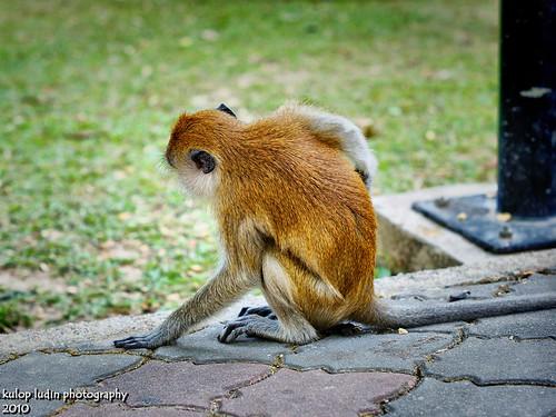 monkey by Kulop Ludin