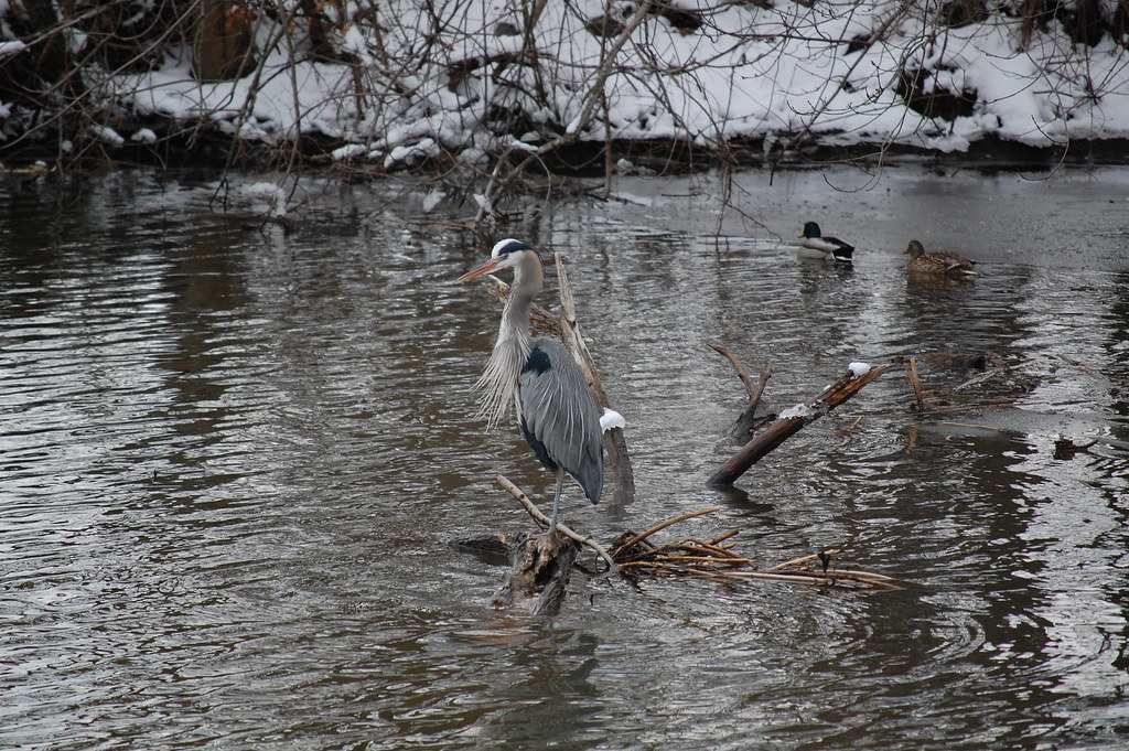 Great Blue, Millstone River