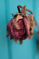 A Faded Rose (mtyto) Tags: blue brown flower rose teal driedrose fadedrose wiltedrose mtyto