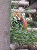 This red panda is trying to hide.