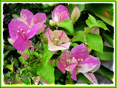 Bougainvillea 'Aiskrim' (synonym B. 'Surprise', B. 'Miss Universe')