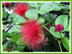 Calliandra emarginata 'Red'