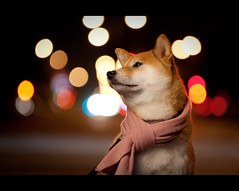 Suki's Scarf (kaoni701) Tags: sf sanfrancisco street city portrait urban dog night scarf puppy lights nikon friend streetlight dof bokeh background tokina doggy 28 suki shibainu 535 shibaken trigrip 50135 sb900 d300s
