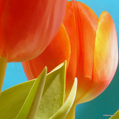Orange&blue Tulip (declicjardin) Tags: flowers orange green fleurs vert tulip distillery tulipe 500x500 firstquality studionature declicjardin winner500 tulipetulip visionqualitygroup redmatrix