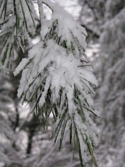 Snow on Pine (2) (K*Adams) Tags: bear snow pine michigan sleeeping