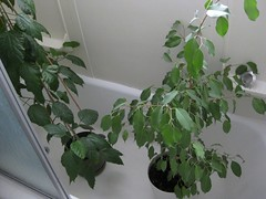 Dusty Ficus and Hibiscus