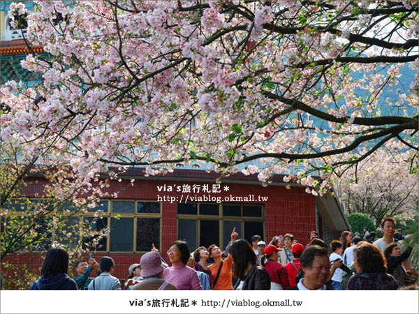 【淡水天元宮櫻花】跟著via賞花趣~天元宮櫻花最新花況7