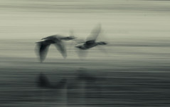 Low Over the Water (1963chris) Tags: lake nature water birds countryside flying geese inflight raw wildlife sony lancashire naturereserve birdsinflight splittoned leightonmoss britishbirds