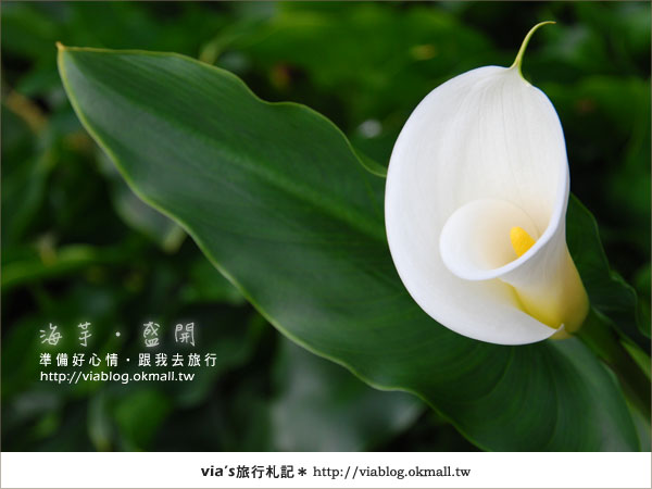 【2010竹子湖海芋季】陽明山竹子湖海芋季~海芋盛開囉!22