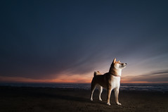Small Figure in a Vast Expanse (kaoni701) Tags: ocean sanfrancisco sunset portrait sky dog pet beach animal project nikon dusk tokina suki shibainu cls atx lastolite shibaken  sb800 creativelighting 1116 ezy strobist sb900 d300s 52weeksfordogs