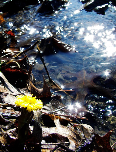 first coltsfoot