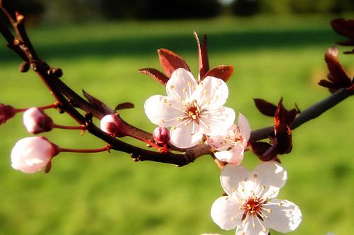 Cherry Petal