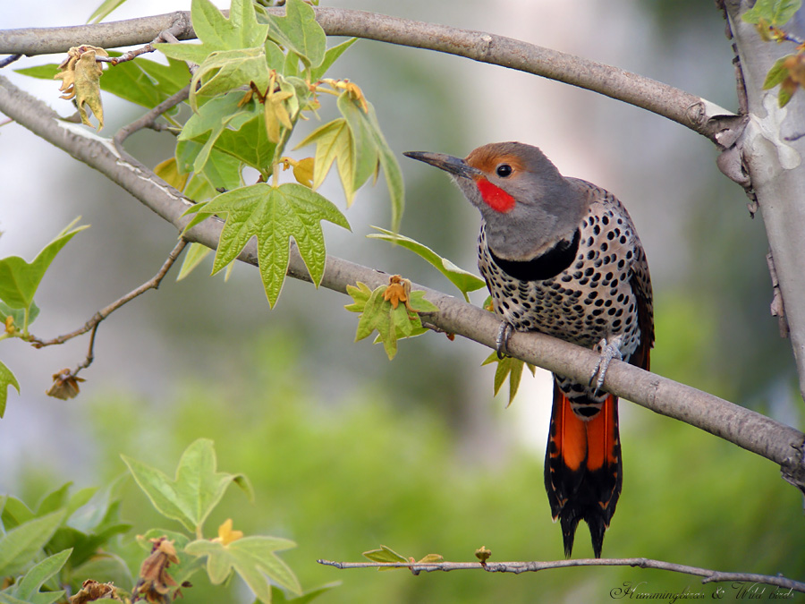 Northern-Flicker 031008