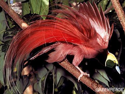 Пожалуй, самое яркое представление у чудной райской птицы: самец...