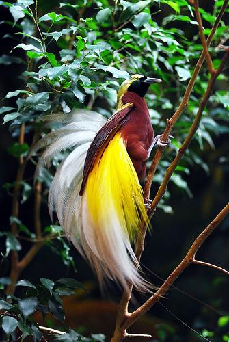 Birds of Paradise New Guinea2