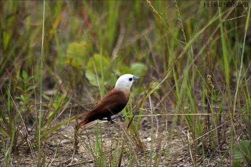 Белоголовая муния (Lonchura maja), Фото фотография птицы картинка