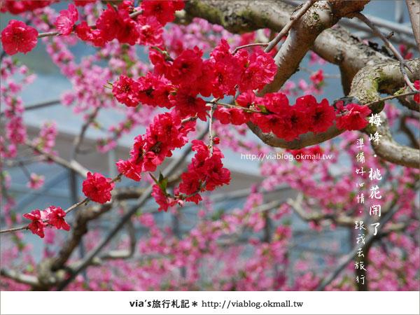 【梅峰農場桃花緣】最美的桃花隧道,就在南投梅峰這裡~(上)34