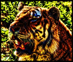 Feeding Time Crop II (Matt Lazzarini) Tags: orange white toronto ontario canada animal tongue cat fence mammal zoo feline metro stripes teeth tiger olympus chainlink e300 43 felid flickrbigcats flickrsportal