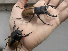 Solage and Ginette (Vanilla Monkey Bear) Tags: cute stag beetles lucanidae odontolabiselegans ginetteneveu