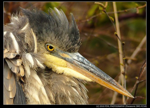 Portrait of a sleepy heron