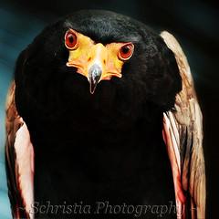 bird closeup eagle soe birdsofprey tqm potofgold bateleureagle blueribbonwinner supershot bej specanimal mywinners avianexcellence goldstaraward damniwishidtakenthat newgoldenseal hganimalsonly