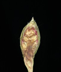 26793 Rhododendron (horticultural art) Tags: horticulture horticulturalart rhododendron bud macro closeup cut disect