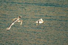 Gaviota patiamarilla (LARUS CACHINNANS), Port de Sller (Pep Aurell) Tags: laruscachinnans sller gaviotapatiamarilla
