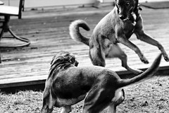 Dog Fighting Clinic -- Otto v. Rocky
