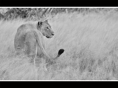 Etosha lioness (Reis. In stijl.) Tags: travel bw monochrome lion safari namibia etosha bigfive namutoni flickrbigcats