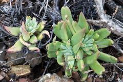 Dudleya acuminata (Joyce-Tex-Buckner) Tags: travel plants color nature garden landscape mexico island succulent pacific baja botany habitat dudleya cedros theplantman