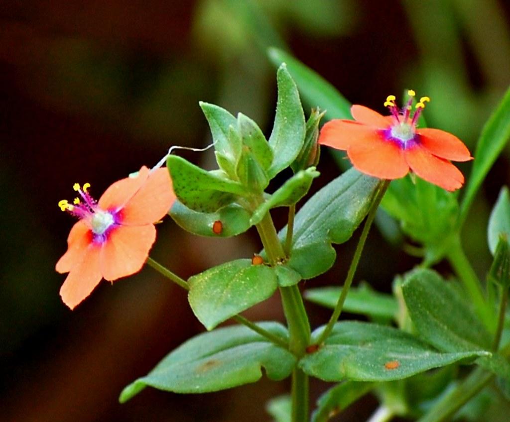 Scarlet Pimpernel (Anagallis arvensis)