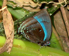 same hairstreak--2 (Hesperia2007) Tags: southamerica fauna butterfly bug insect ecuador rainforest invertebrate hairstreak arthropod tena amazonbasin lepidopteran neotropics cabanasalinahui uppernaporiver