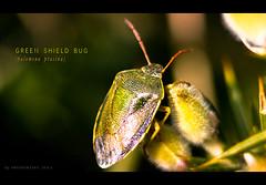 Green Shield Bug (~ SPQ PHOTOGRAPHY ~) Tags: macro green closeup canon bug insect eos zoom telephoto magnified sq luxury magnification pentatomidae extensiontubes palomenaprasina greenshieldbug canonef100400mmf4556lisusm 450d sqphotography