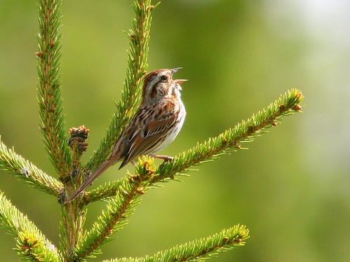 Song Sparrow 2-20100415