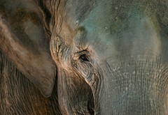 Into the Eye of the Elephant (Alex E. Proimos) Tags: age alexproimos amazing animal baby beauty close closeup confusion contrast creature deep distress elephant eye face fearless happiness harmony joy life lines macro mammal old pain peace proimos soul spirit tear texture up wrinkle wrinkles