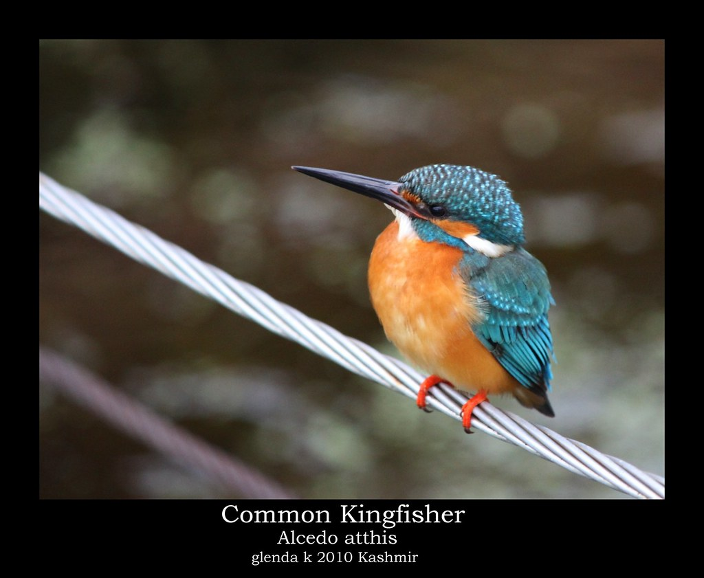 Common Kingfisher, Male