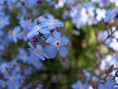 Petal Blue . . .